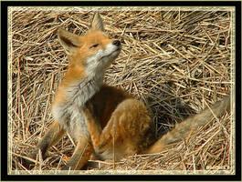 FOX by Smokey41