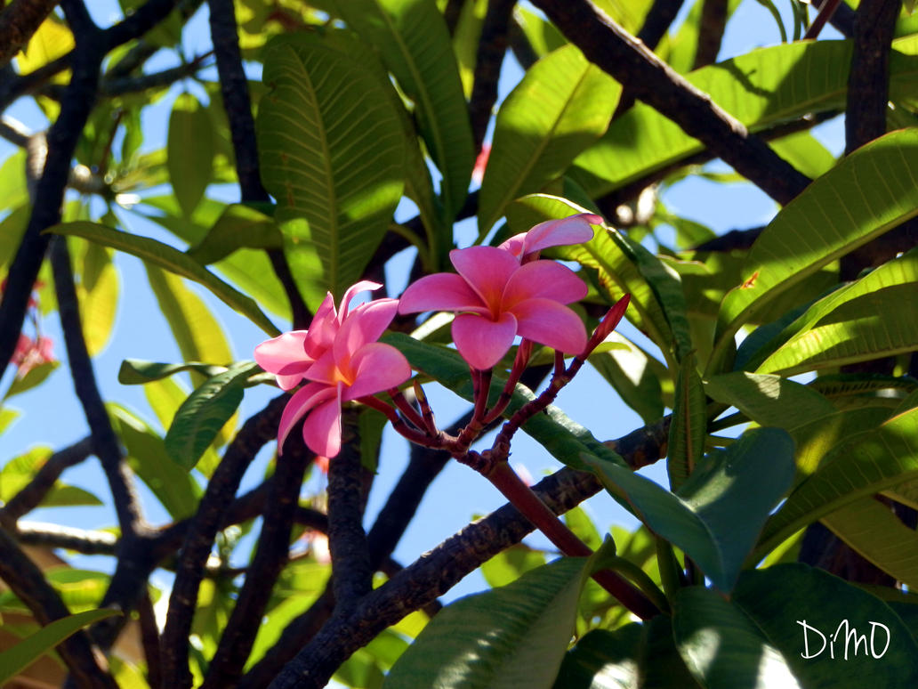 Pink Plumerias by AllAboutDianne