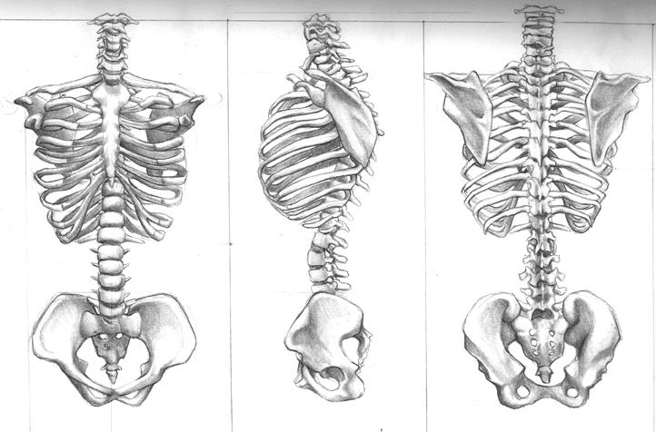 spine bone drawing wwwpixsharkcom images galleries