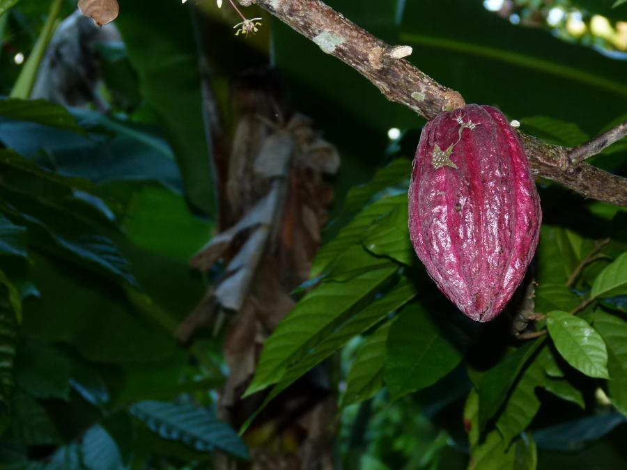 Cuba . Cacao by utico