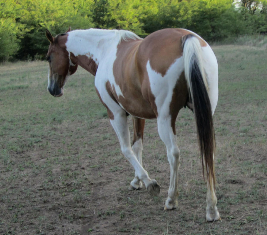 Light Brown And White Horse Brown and white paint horse 19