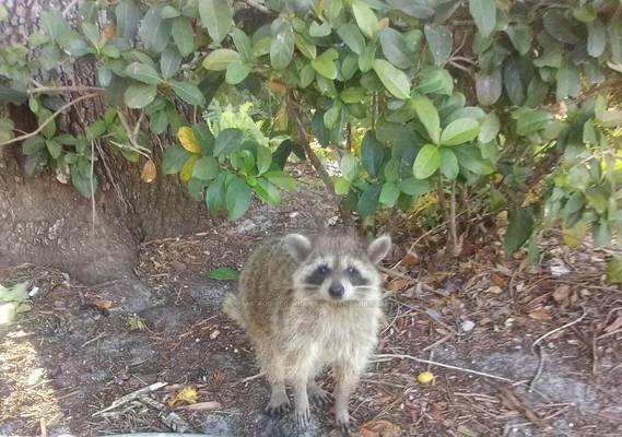Cute little raccoon