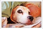 Beagle's Eagle Eye by TeaPhotography