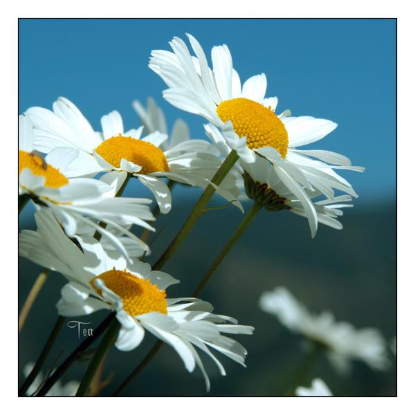 Happy Daisy Celebration by TeaPhotography