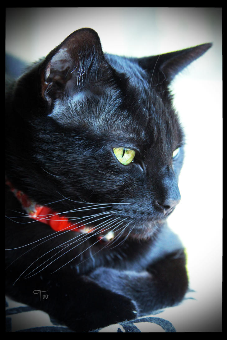 Black Cat Beauty by TeaPhotography