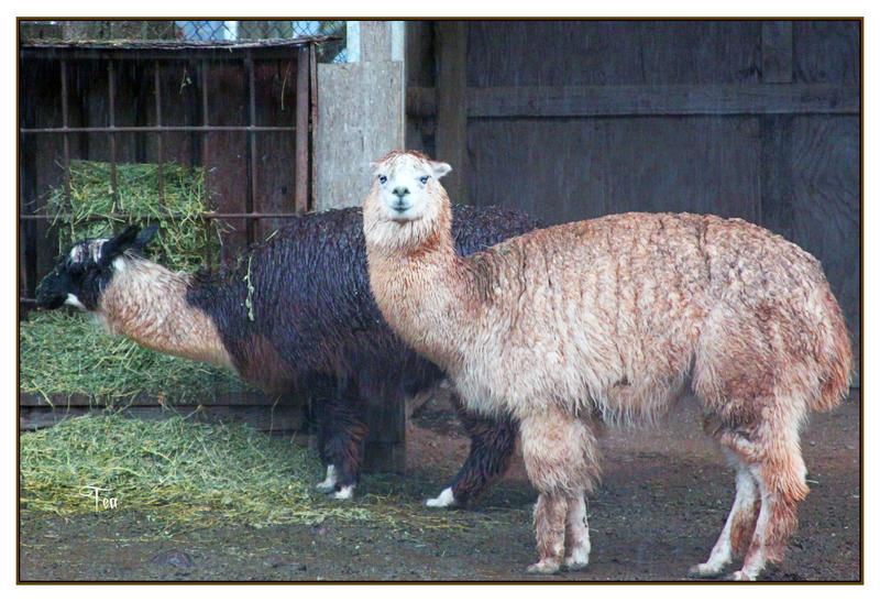 Llama Love in the Rain by TeaPhotography