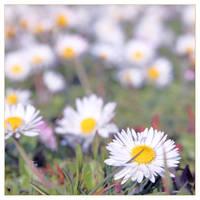Field of Daisy Dreams by TeaPhotography