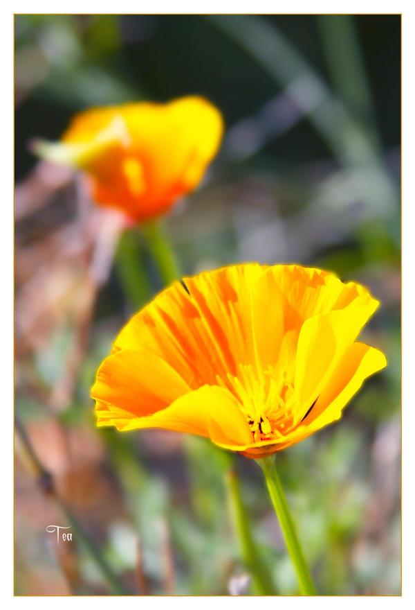 Coastal Poppy Magic by TeaPhotography