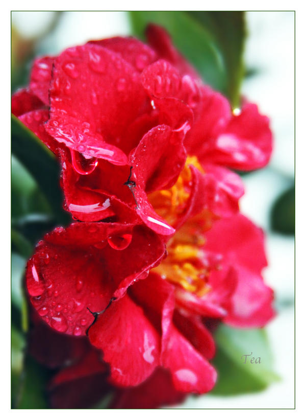 Camellia of the Thunderstorm by TeaPhotography