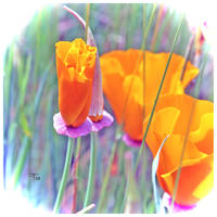 Poppy Power by TeaPhotography
