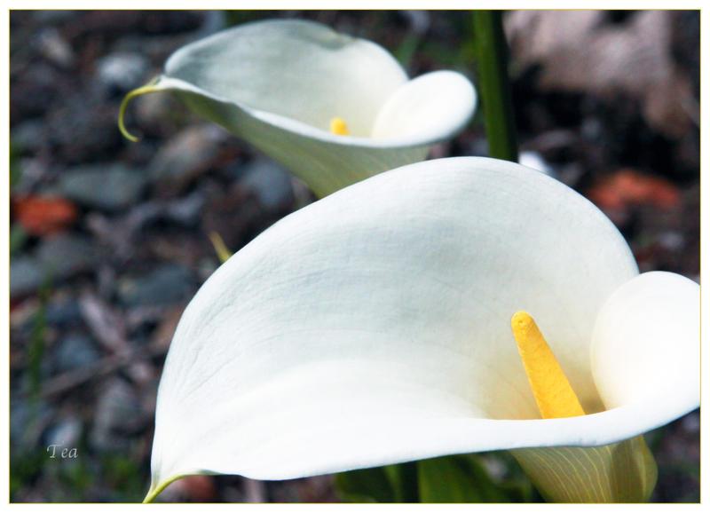 Lily for Lily for Lily for Lily... by TeaPhotography