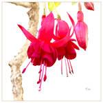 Fuchsia for Life
