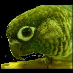 Green Cheek Conure Tag by amerillo342