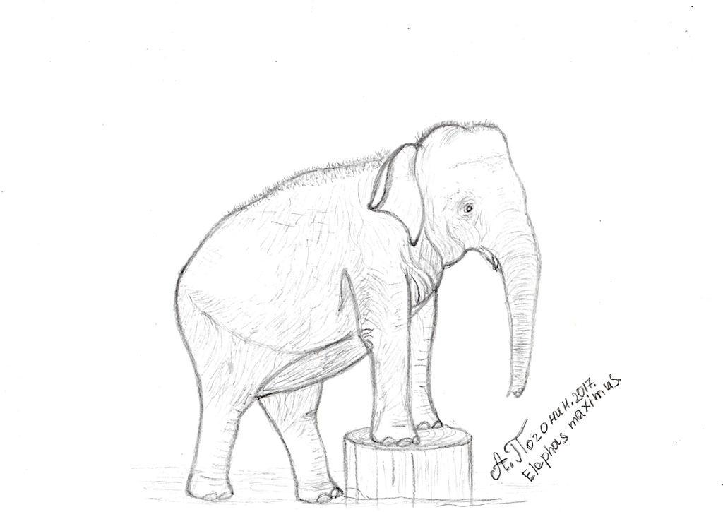 Elephas maximus by ARTPogonin