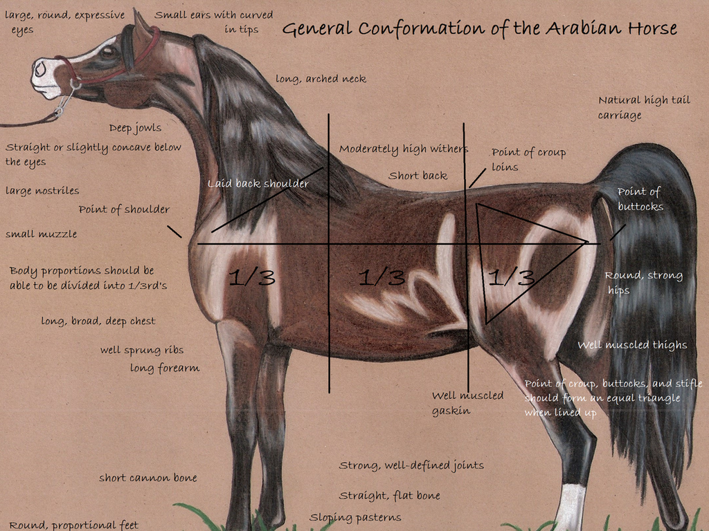 Conformation of the Arabian Horse- Part One by LucasBinx on DeviantArt