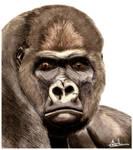 Western Lowland Gorilla Colour