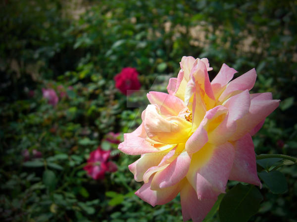 Flower pink yellow white by letthecolorsrumble on deviantart flower pink yellow white by letthecolorsrumble mightylinksfo