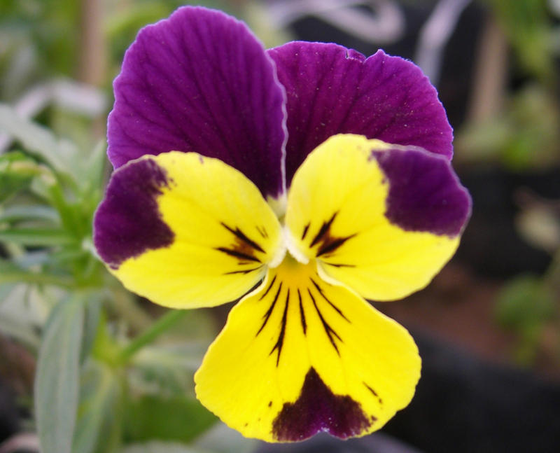 Flower yellow violet by letthecolorsrumble on deviantart flower yellow violet by letthecolorsrumble mightylinksfo