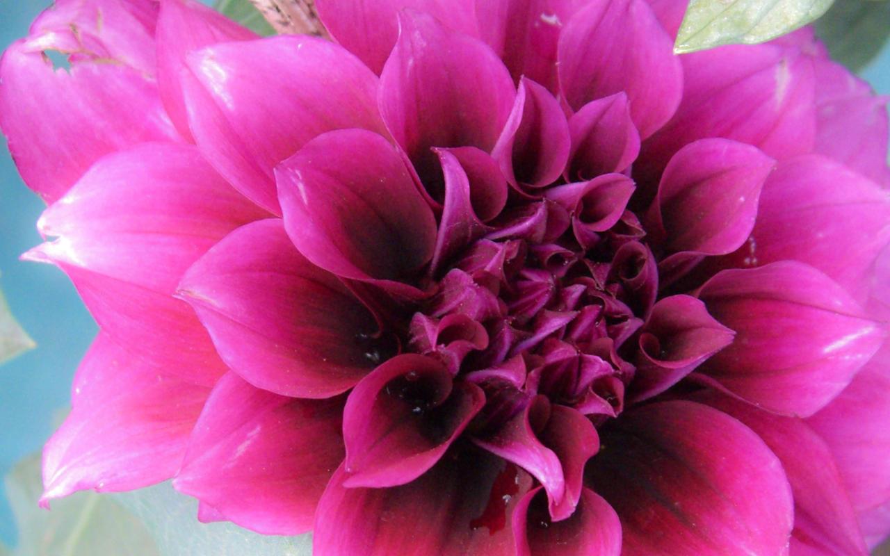 magenta roses wallpaper - photo #3