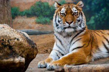 Tiger by Wallcrawler62
