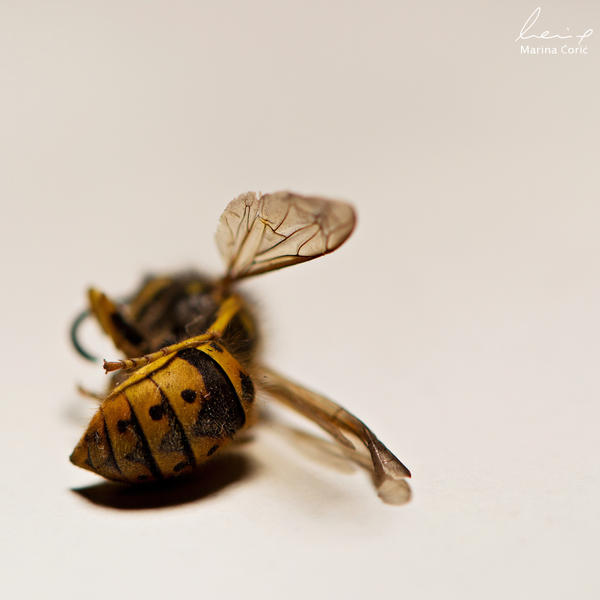 Wasp by MarinaCoric