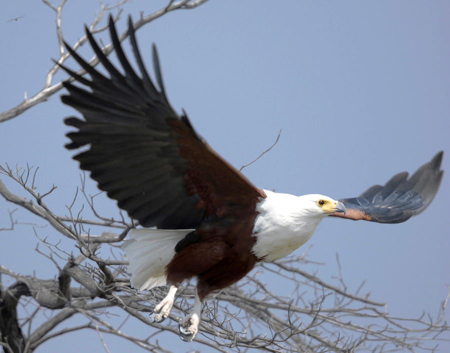 African Fish Eagle by pollittpics