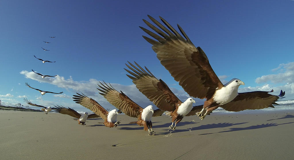 Brahminy kite swooping on food by pollittpics