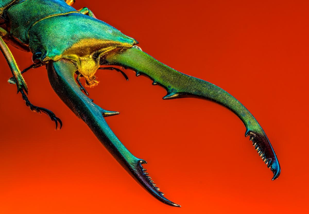 Cyclommatus metallifer by mib4art