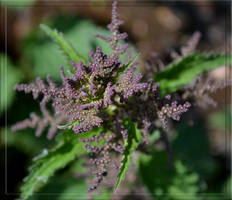 Flower of Nettles by CaryAndFrankArts