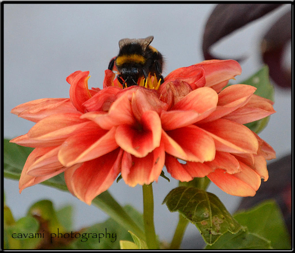 Bumblebee on Dahlia by CaryAndFrankArts