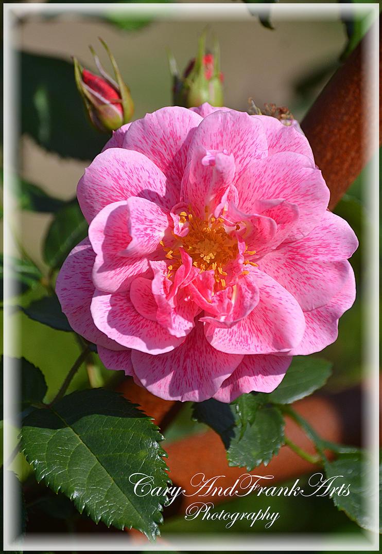 La vie en Rose by CaryAndFrankArts