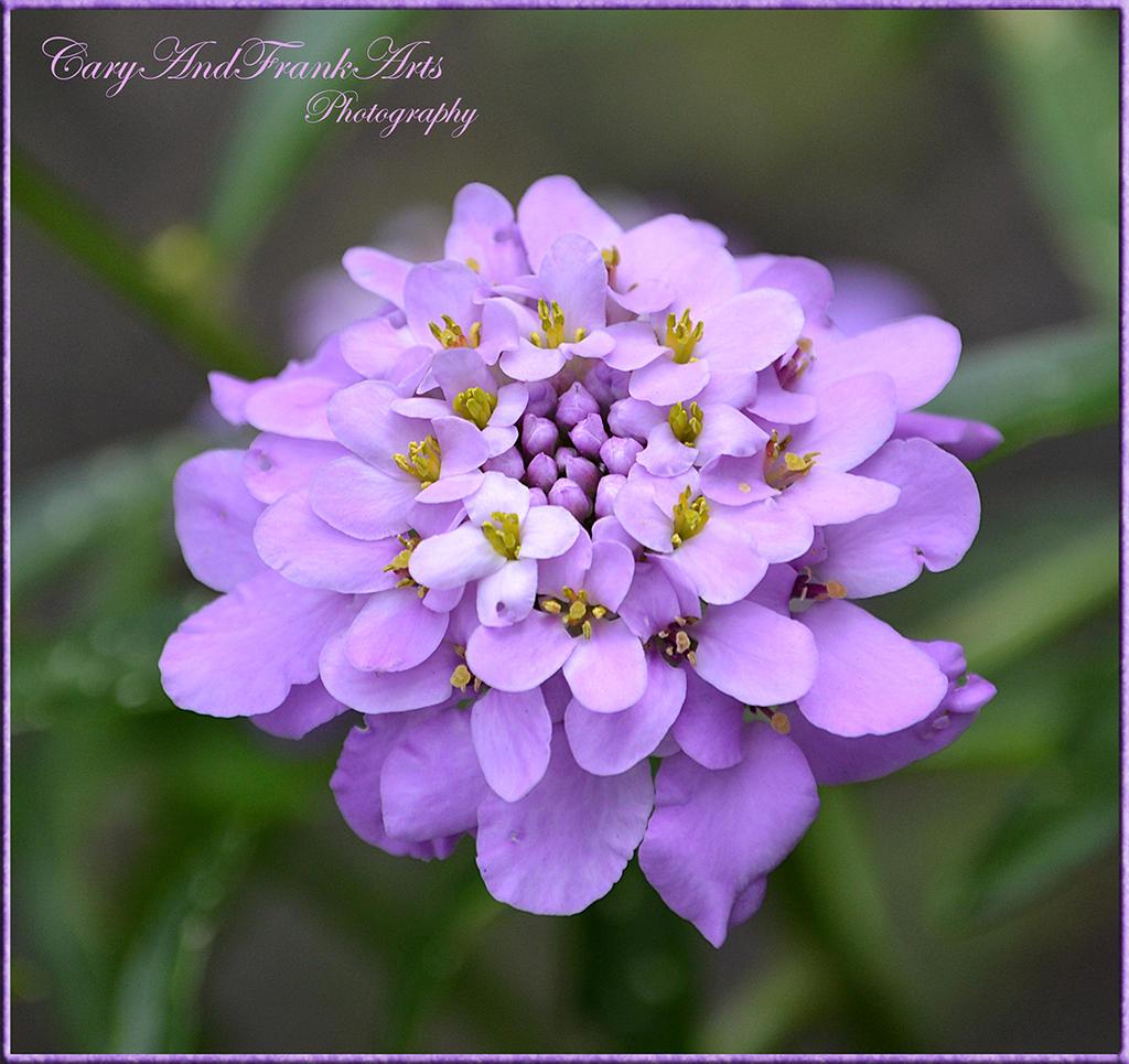 Lilac by CaryAndFrankArts