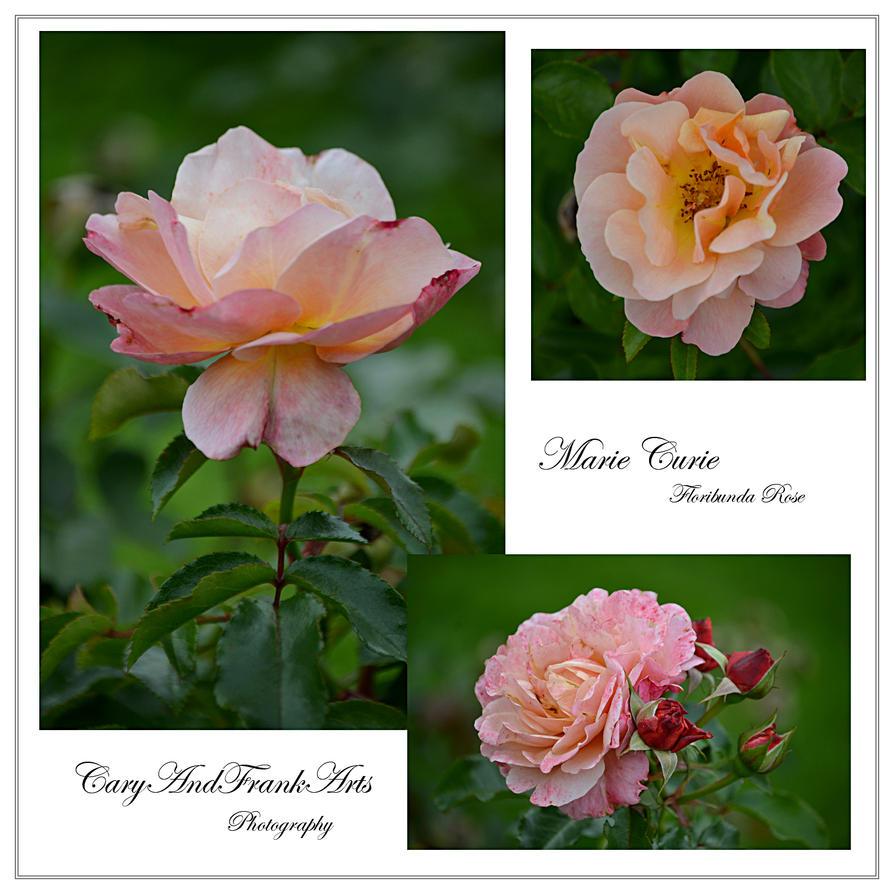 marie curie floribunda rose by caryandfrankarts on deviantart. Black Bedroom Furniture Sets. Home Design Ideas