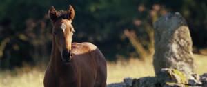 War Horse :: foal joey:: by MidnichtJewel