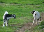 Goat Stock 10
