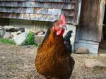 Chicken Stock 9