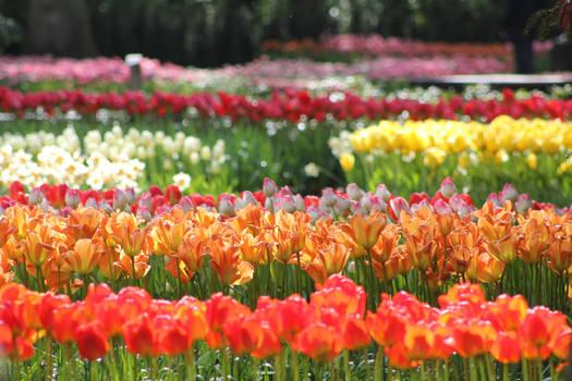 Tulip Fields 2