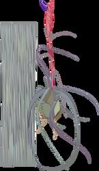 Northern Needleleaf - Tillandsia balbisiana