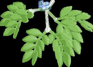 Lignum Vitae - Guaicum sanctum