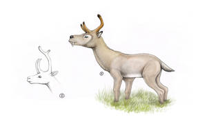 Three-horned chevrotains