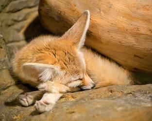 Fennec Fox by LashelleValentine