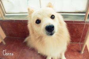 light blonde dog named chicco by tomzj1