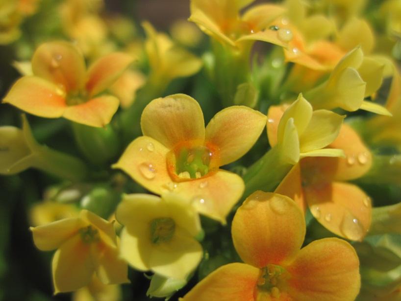 Kalanchoe flowers by Wintella