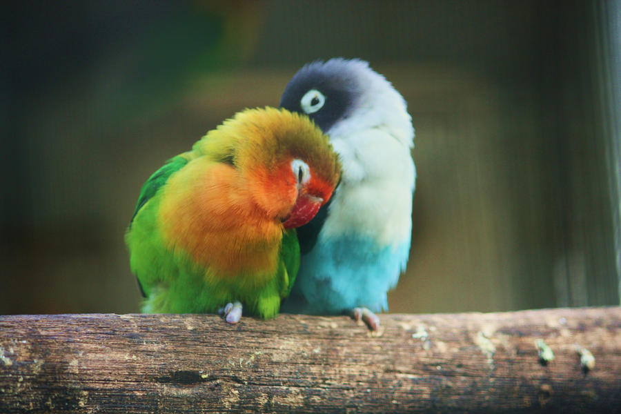 Any One 1 6 Jaeger Birds Hd Wallpapers: Lovebirds By SATOSHI--BLADE On DeviantArt