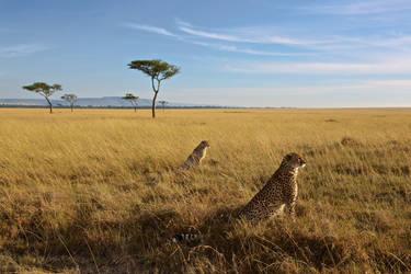 Masai Mara Cheetahs by batmantoo