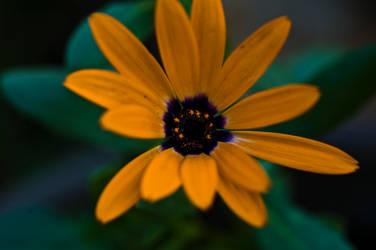 Orange spring flower by yamiyalo