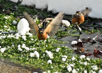 Robins taken off by yamiyalo