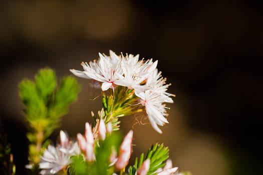 Calytrix tetragona Starflower