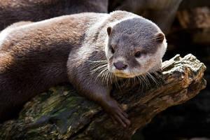 Otter Portrait by duncan-blues