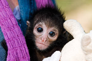 Baby Spider Monkey by duncan-blues